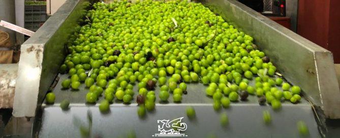 Molitura delle olive